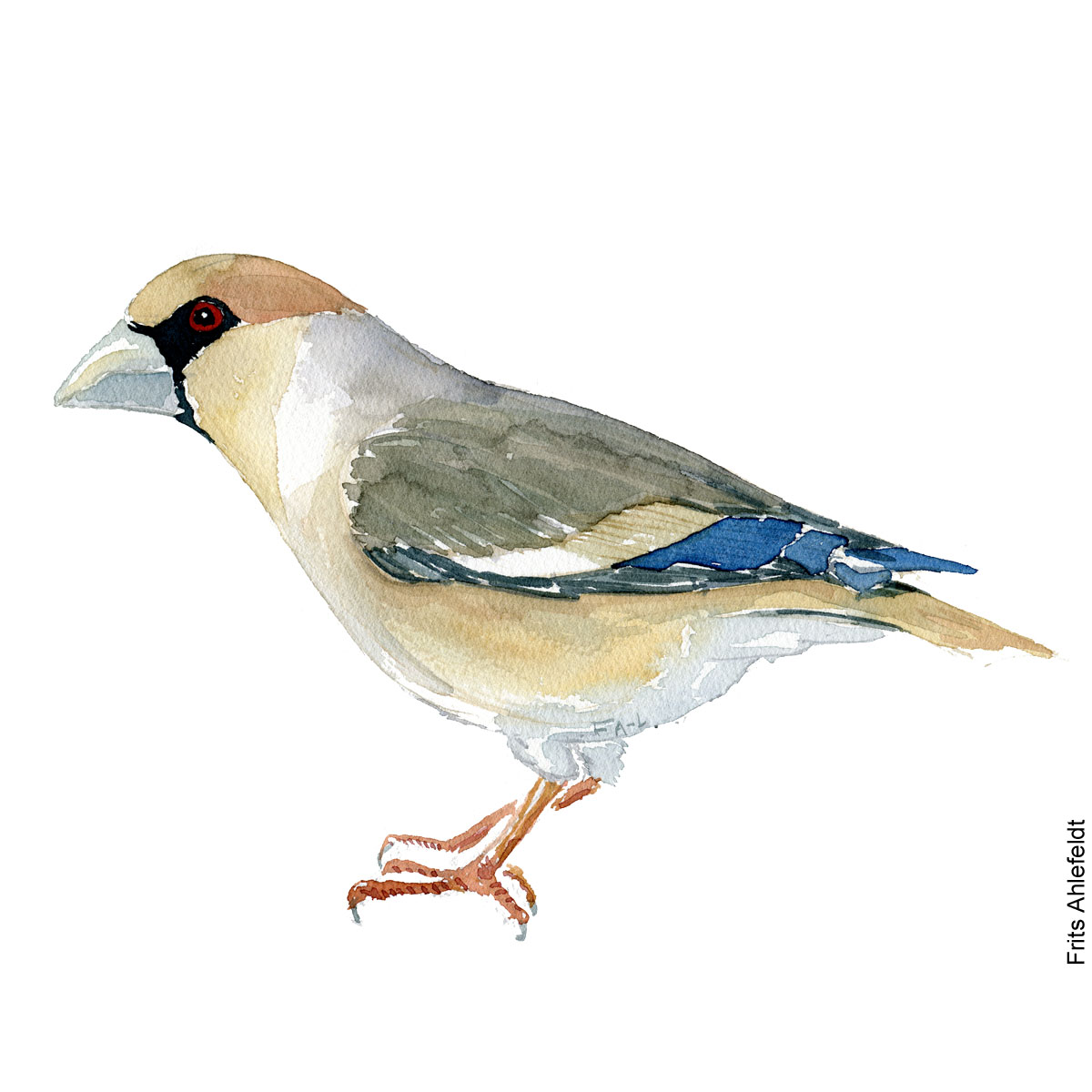 Kernebider - Hawfinch bird watercolor painting. Artwork by Frits Ahlefeldt. Fugle akvarel