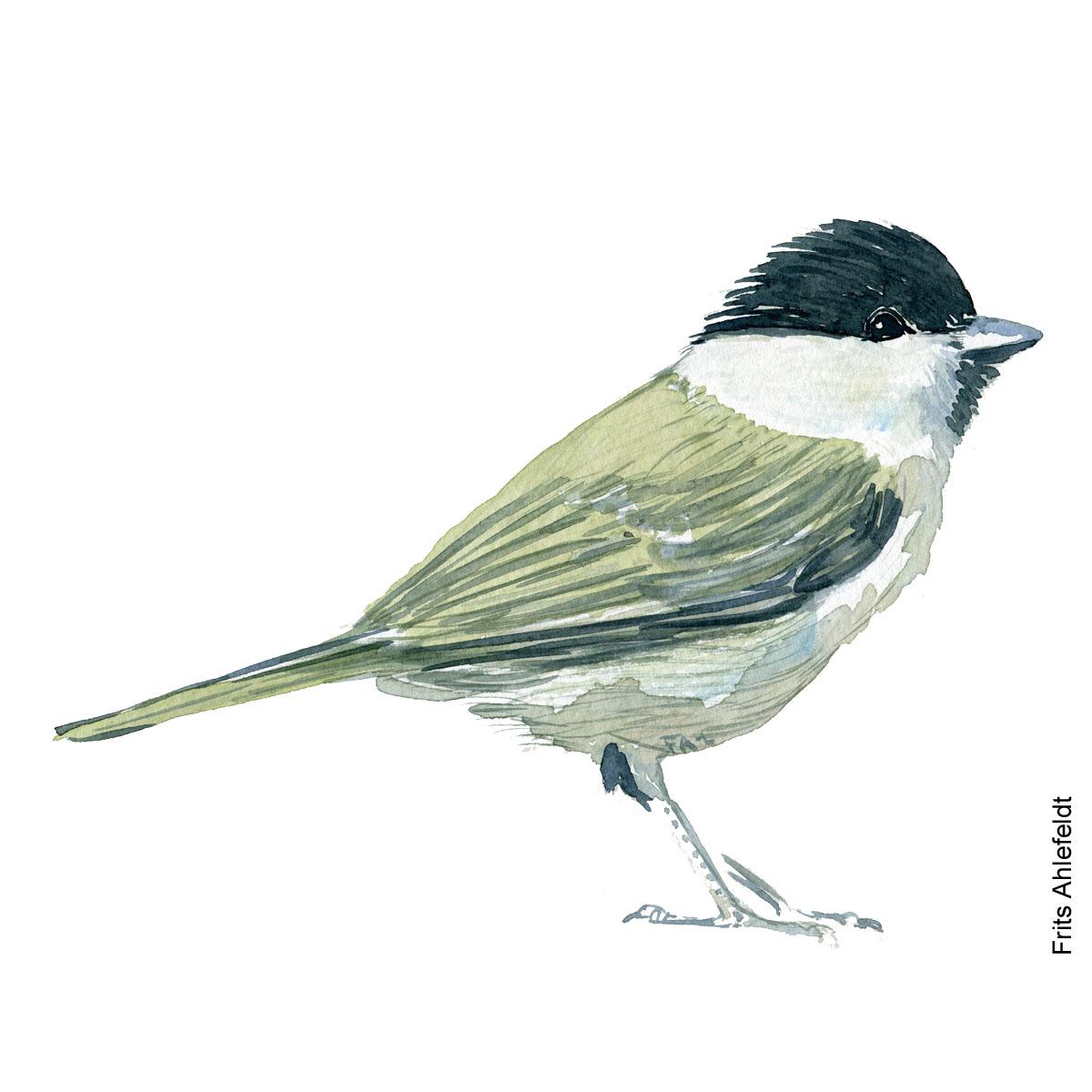 Sumpmejse - Marsh tit bird watercolor painting. Artwork by Frits Ahlefeldt. Fugle akvarel
