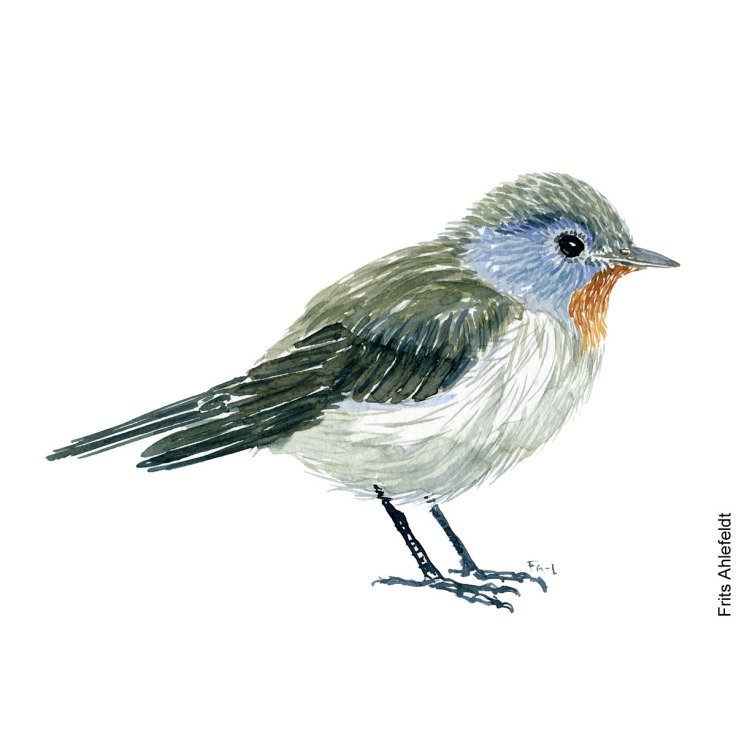 Lille fluefanger - Red crested flycatcher bird watercolor painting. Artwork by Frits Ahlefeldt. Fugle akvarel