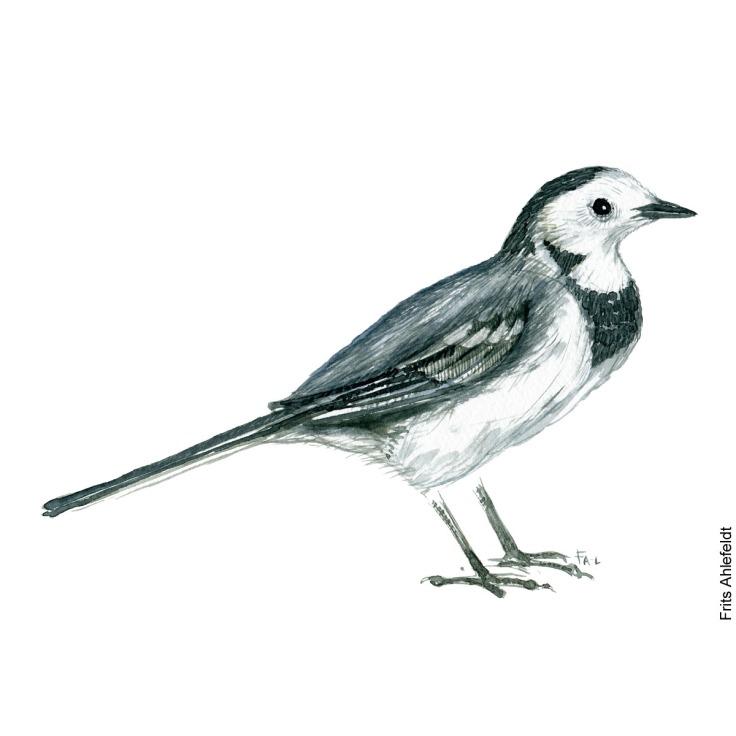 Vipstjert - White wagtail bird watercolor painting. Artwork by Frits Ahlefeldt. Fugle akvarel