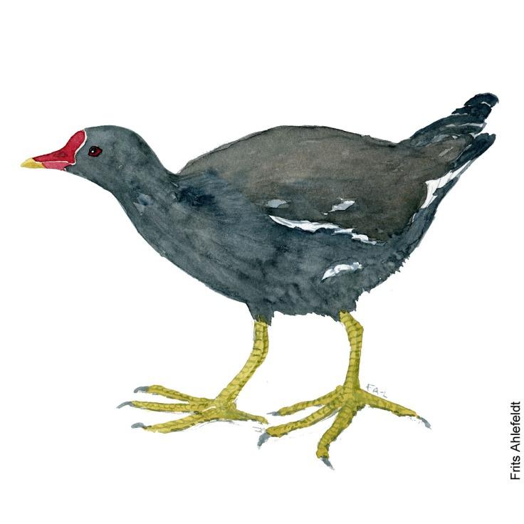 Groenbenet roerhone - Common moorhen bird watercolor painting. Artwork by Frits Ahlefeldt. Fugle akvarel
