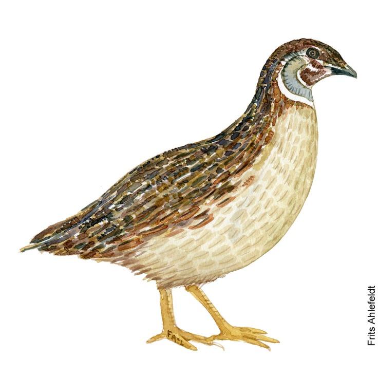 Vagtel - Common quail bird watercolor painting. Artwork by Frits Ahlefeldt. Fugle akvarel
