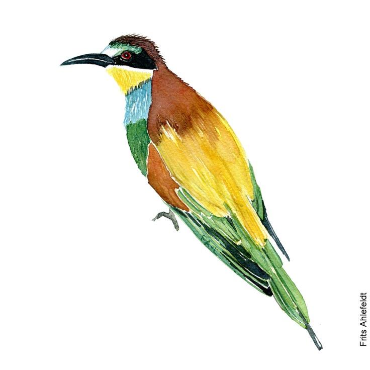 Biaeder - European bee-eater bird watercolor painting. Artwork by Frits Ahlefeldt. Fugle akvarel