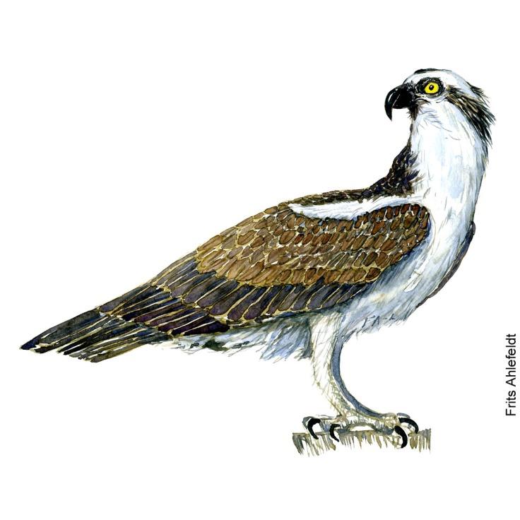 Fiskeoern - Osprey eagle bird watercolor painting. Artwork by Frits Ahlefeldt. Fugle akvarel