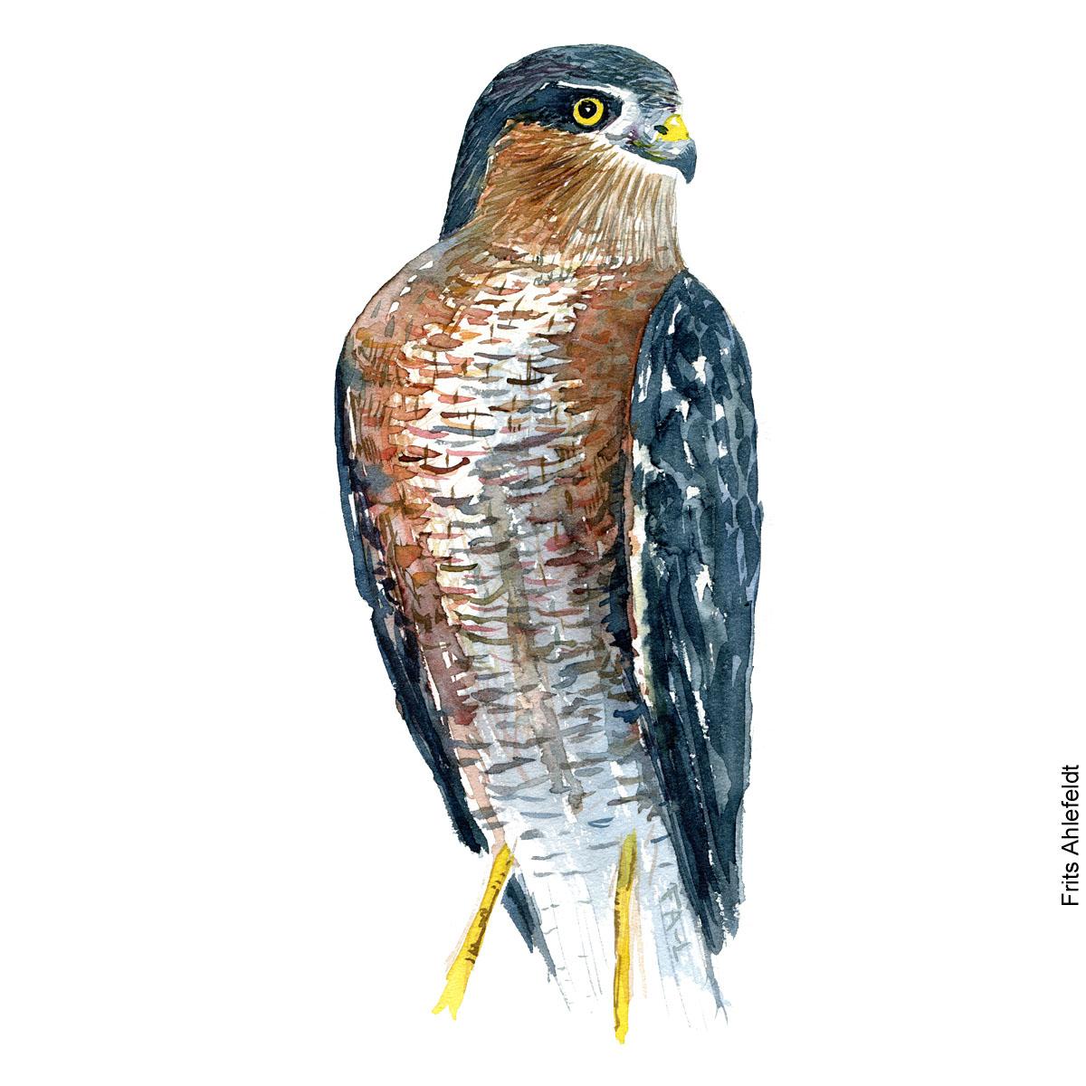 Spurvehoeg - Eurasian sparrowhawk bird watercolor painting. Artwork by Frits Ahlefeldt. Fugle akvarel