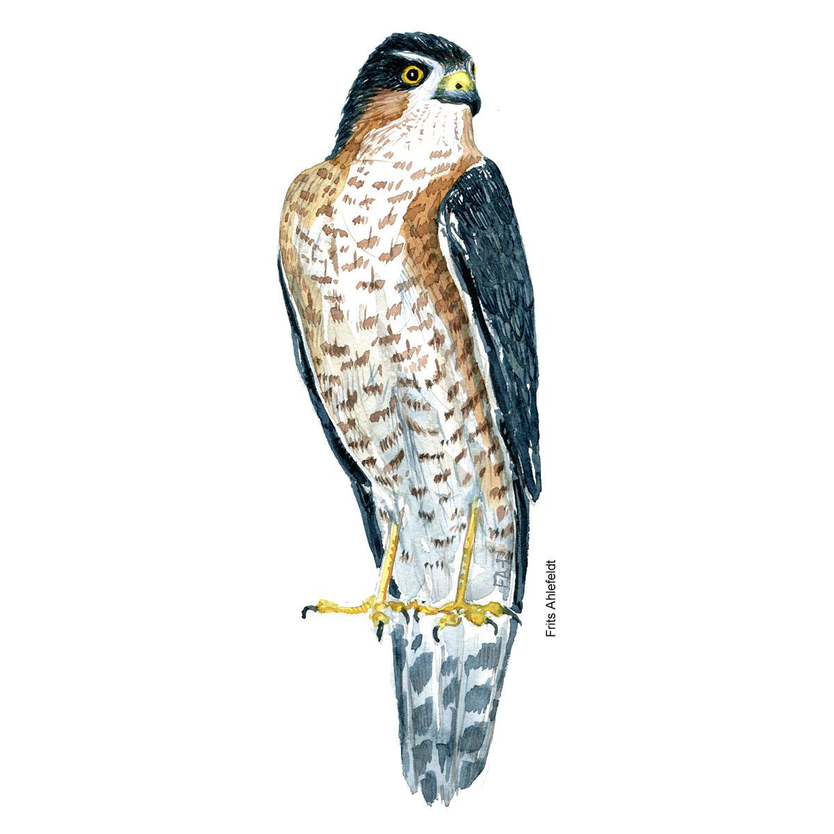 Spurvehoeg - Eurasian sparrow hawk bird watercolor painting. Artwork by Frits Ahlefeldt. Fugle akvarel