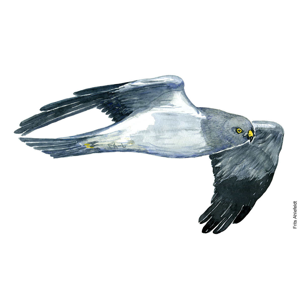 Kaerhoeg - Henharrier bird watercolor painting. Artwork by Frits Ahlefeldt. Fugle akvarel