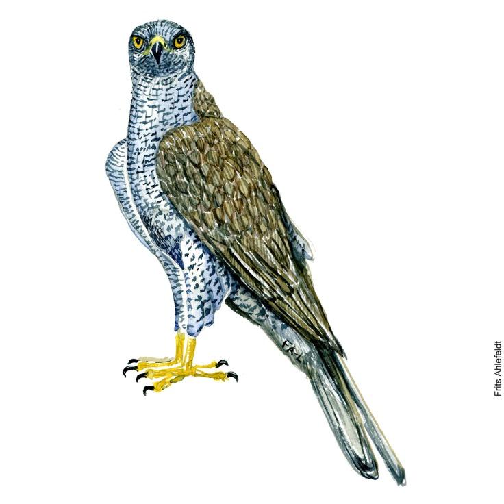Northern goshawk bird watercolor painting. Artwork by Frits Ahlefeldt. Fugle akvarel