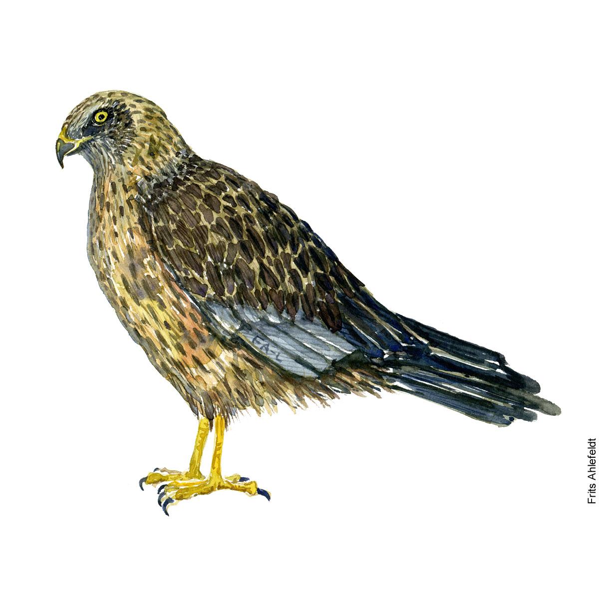 Roerhog - Western marsh harrier bird watercolor painting. Artwork by Frits Ahlefeldt. Fugle akvarel