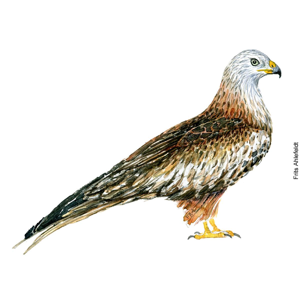 Roed glente - Red kite bird watercolor painting. Artwork by Frits Ahlefeldt. Fugle akvarel