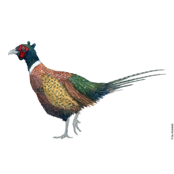 Fasan - Ring necked pheasant bird watercolor painting. Artwork by Frits Ahlefeldt. Fugle akvarel