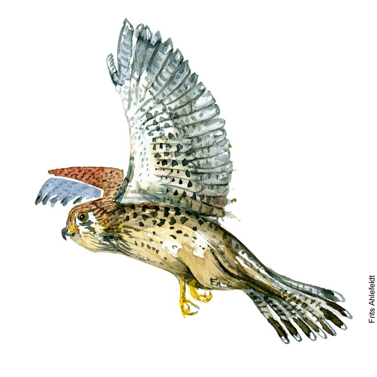 Taarnfalk - Common kestrel bird watercolor painting. Artwork by Frits Ahlefeldt. Fugle akvarel