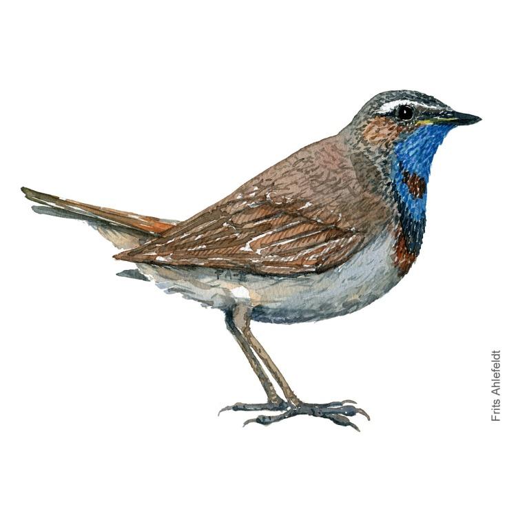 Blaahals - Bluethroat bird watercolor painting. Artwork by Frits Ahlefeldt. Fugle akvarel