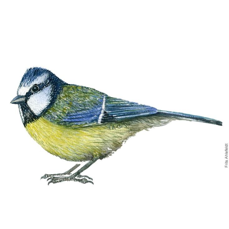 Blaamejse - Blue tit bird watercolor painting. Artwork by Frits Ahlefeldt. Fugle akvarel
