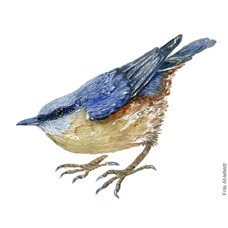 Spaetmejse - Eurasian nuthatch bird watercolor painting. Artwork by Frits Ahlefeldt. Fugle akvarel