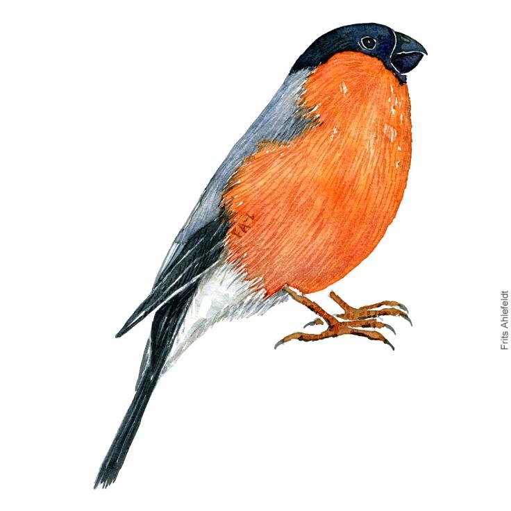 Dompap - European bullfinch bird watercolor painting. Artwork by Frits Ahlefeldt. Fugle akvarel