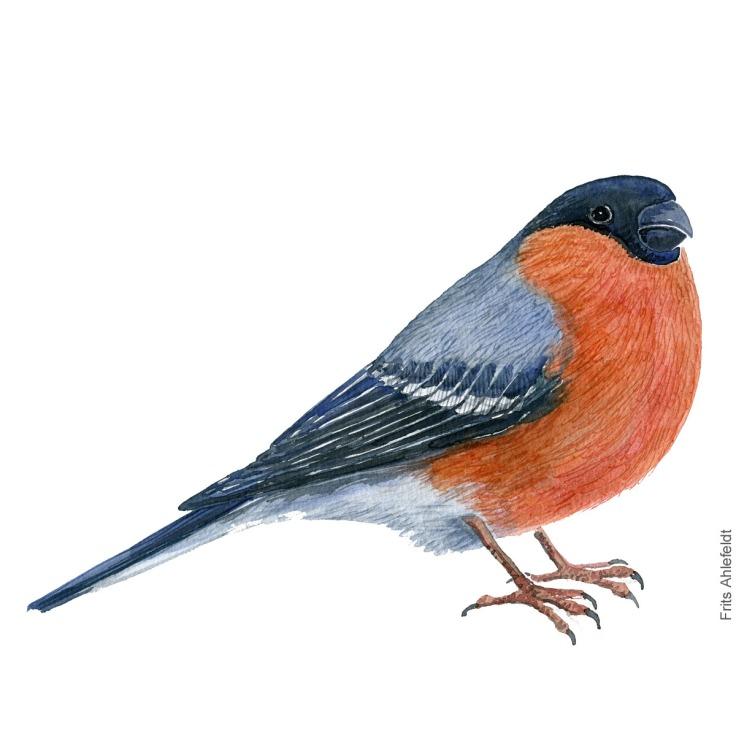 Dompap - European bullfinchbird watercolor painting. Artwork by Frits Ahlefeldt. Fugle akvarel