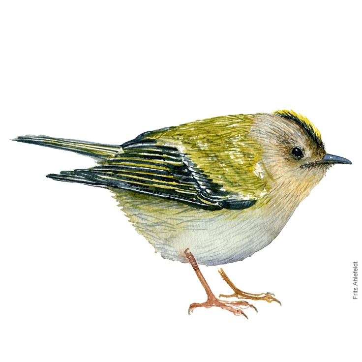 Fuglekonge - Goldcrest - Bird watercolor painting. Artwork by Frits Ahlefeldt. Fugle akvarel