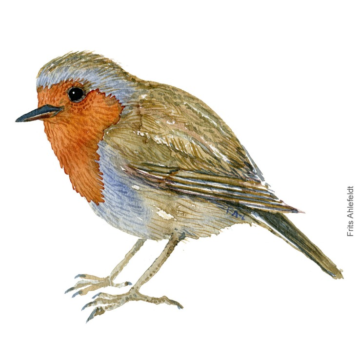 Roedhals - European robin - Bird watercolor painting. Artwork by Frits Ahlefeldt. Fugle akvarel