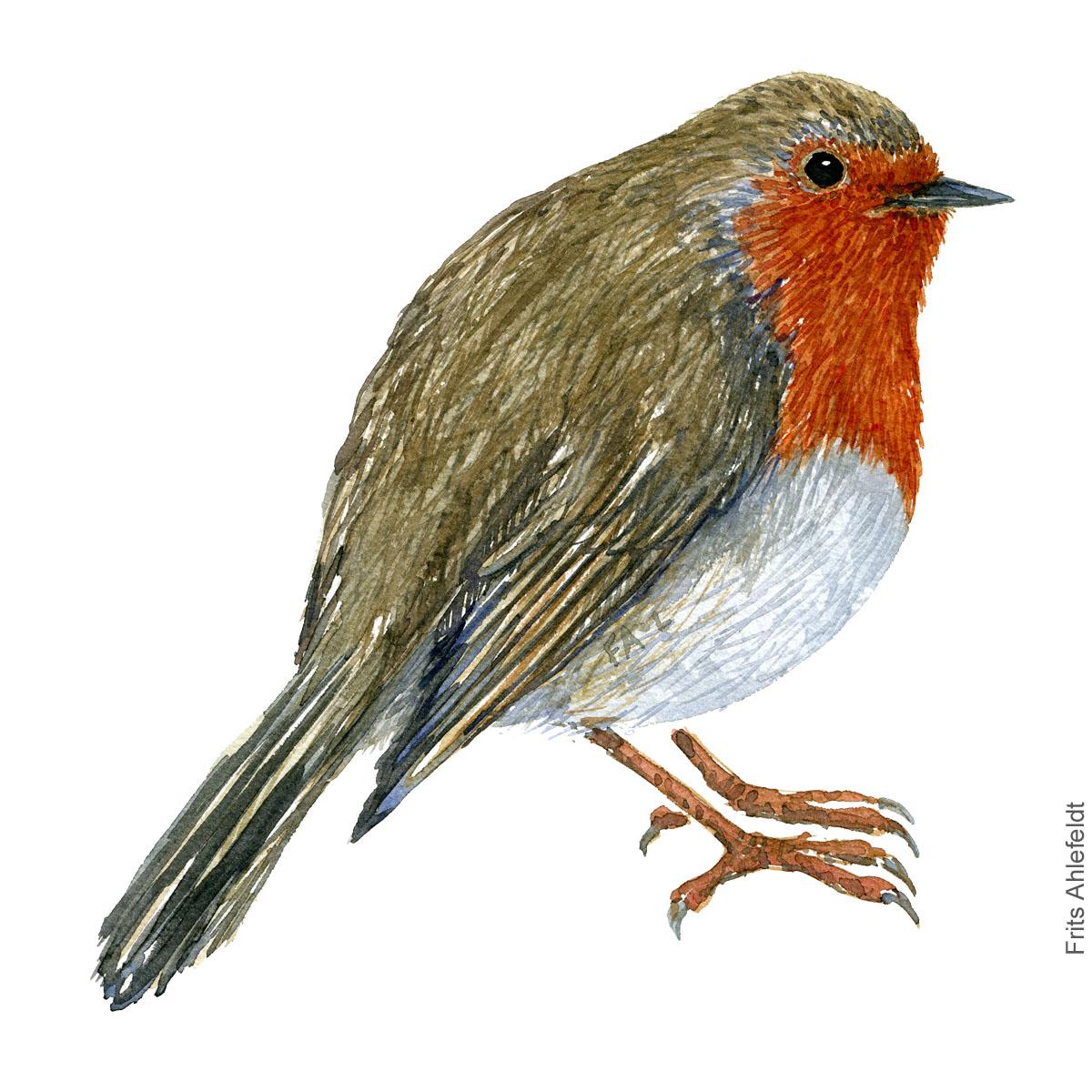 Roedhals - European robin - Bird watercolor painting. Artwork by Frits Ahlefeldt. Fugle akvarel