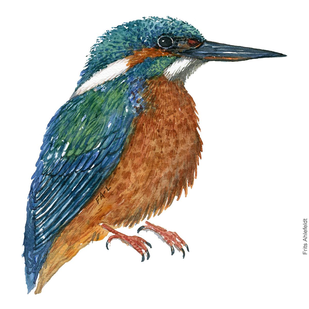 Isfugl - Kingfisher - Bird watercolor painting. Artwork by Frits Ahlefeldt. Fugle akvarel