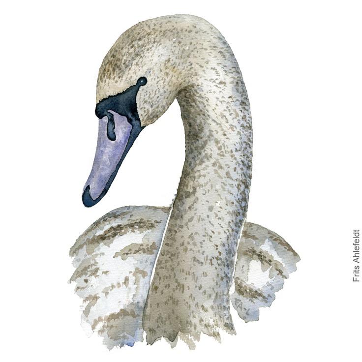 Knopsvane - Mute swan - Bird watercolor painting. Artwork by Frits Ahlefeldt. Fugle akvarel