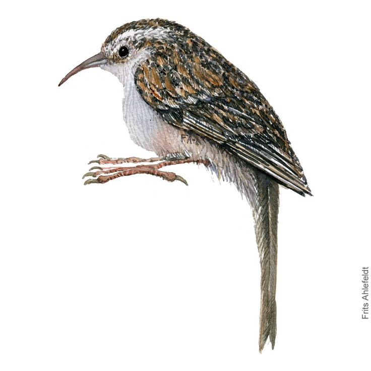 Korttaaet traeloeber - Short toed treecreeper - Bird watercolor painting. Artwork by Frits Ahlefeldt. Fugle akvarel