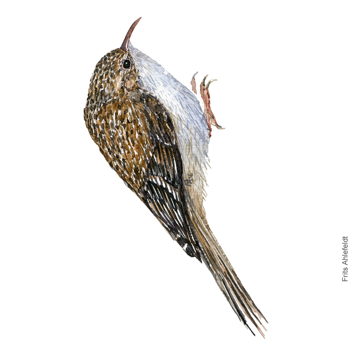 Korttaaet traeloeber - Short toed treecreeper - Bird watercolor painting. Artwork by Frits Ahlefeldt. Fugle akvarel