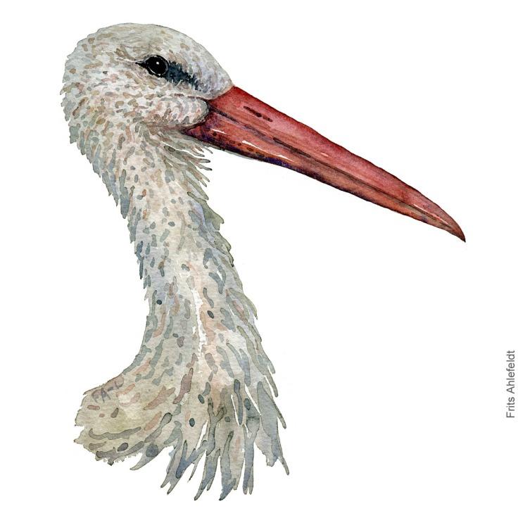 Hvid stork - White stork - Bird watercolor painting. Artwork by Frits Ahlefeldt. Fugle akvarel