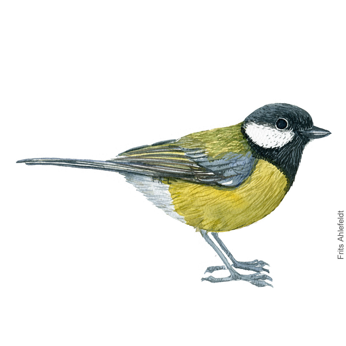 Musvit - Great tit - Bird watercolor painting. Artwork by Frits Ahlefeldt. Fugle akvarel