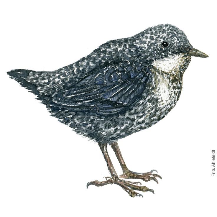 Vandstaer - White throated dipper - Bird watercolor painting. Artwork by Frits Ahlefeldt. Fugle akvarel