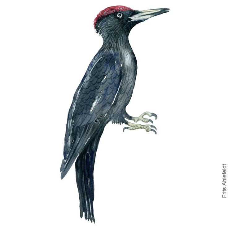 Sortspaette - Black woodpecker - Bird watercolor painting. Artwork by Frits Ahlefeldt. Fugle akvarel