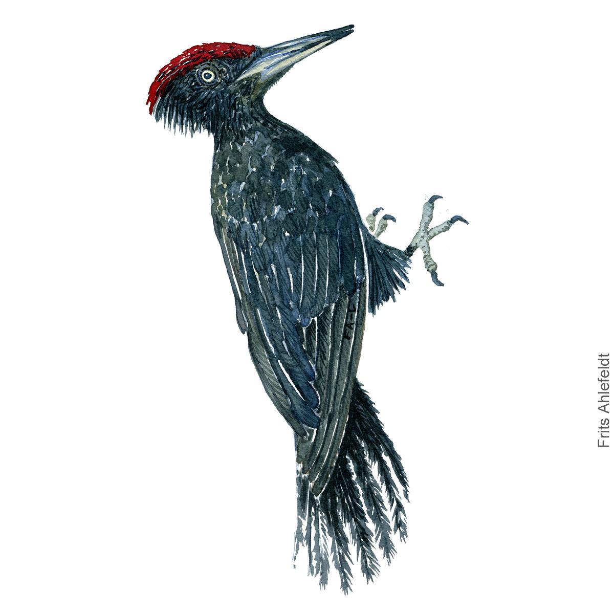 Sortspaette - Black woodpecker - Bird watercolor painting. Artwork by Frits Ahlefeldt. Fugle akvarel
