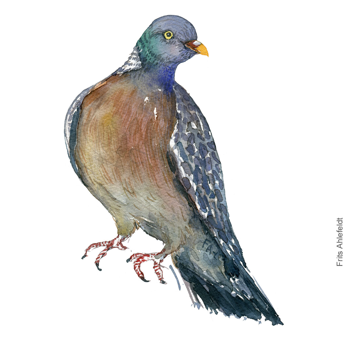Skovdue - Wood pigeon - Bird watercolor painting. Artwork by Frits Ahlefeldt. Fugle akvarel
