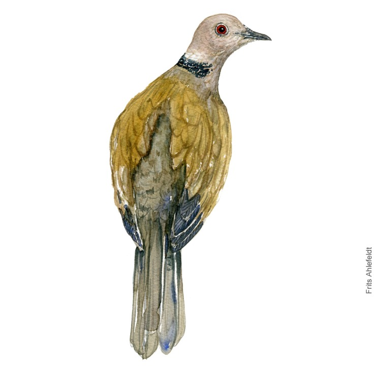 Tyrkerdue - Eurasian collared dove - Bird watercolor painting. Artwork by Frits Ahlefeldt. Fugle akvarel