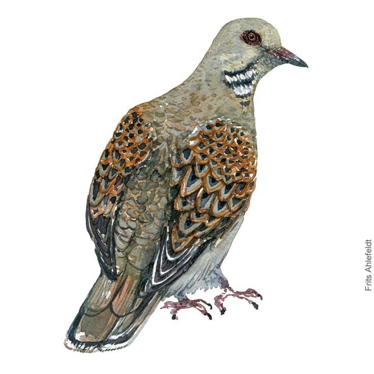 Turteldue - European turtledove - Bird watercolor painting. Artwork by Frits Ahlefeldt. Fugle akvarel