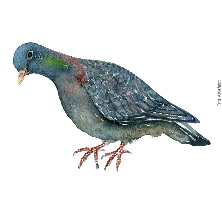 Huldue - Stockdove - Bird watercolor painting. Artwork by Frits Ahlefeldt. Fugle akvarel