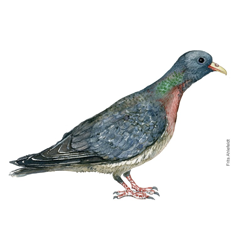 Huldue - Stockdove - Bird watercolor painting. Artwork by Frits Ahlefeldt. Fugle akvarel