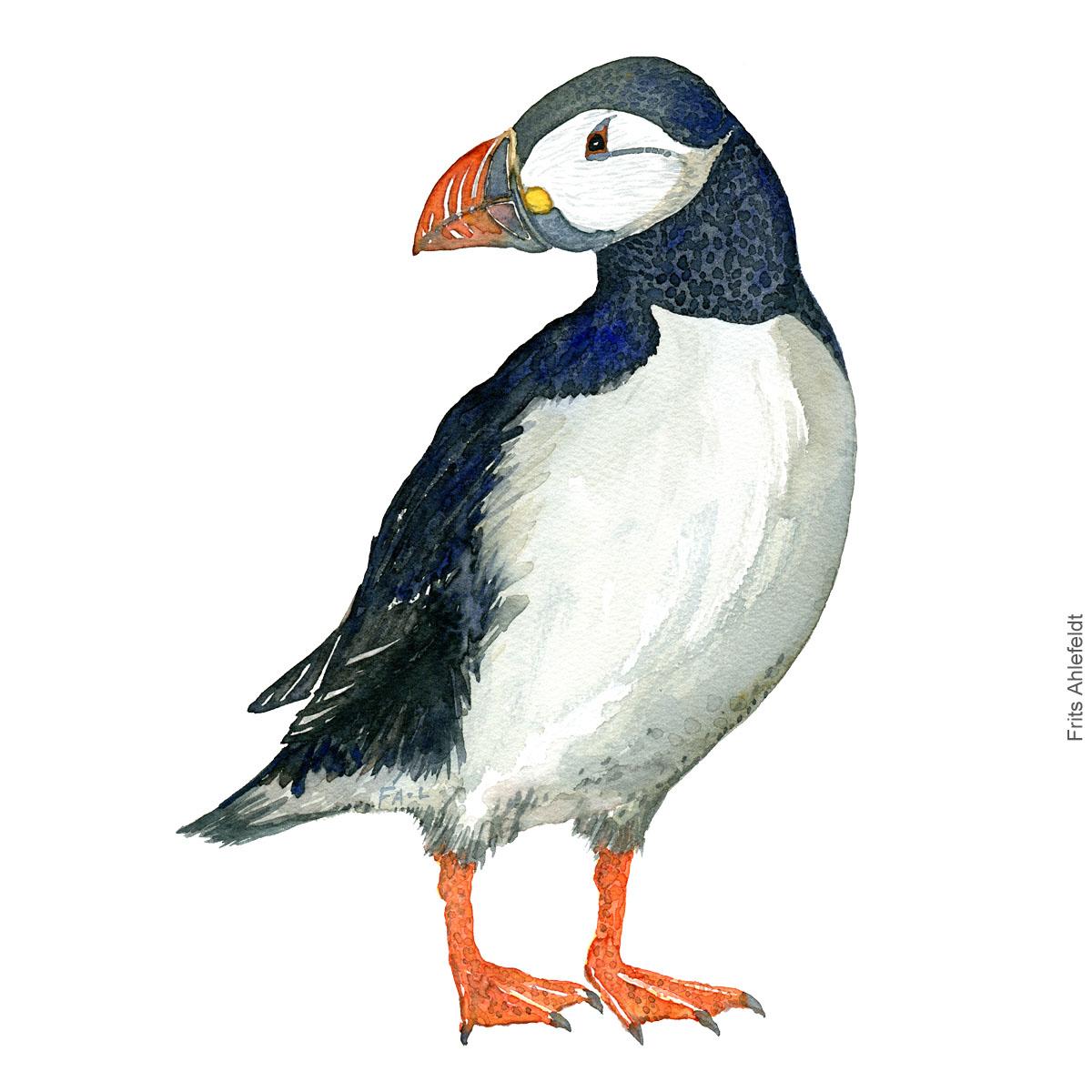 Lunde - Atlantic puffin ( Fratercula arctica ) - Bird watercolor painting. Artwork by Frits Ahlefeldt. Fugle akvarel
