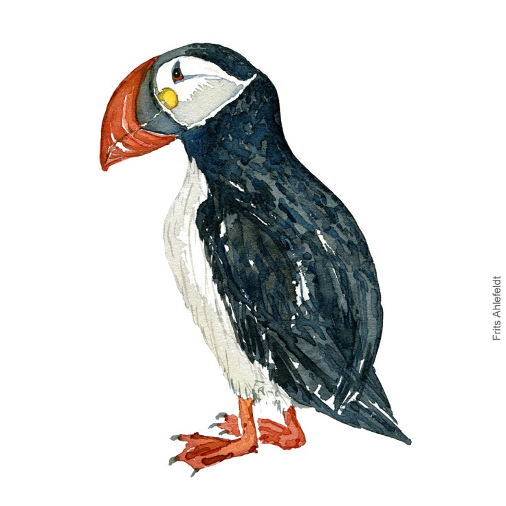 Lunde - Atlantic puffin ( Fratercula arctica ) - Bird watercolor painting. Artwork by Frits Ahlefeldt. Fugle akvarel