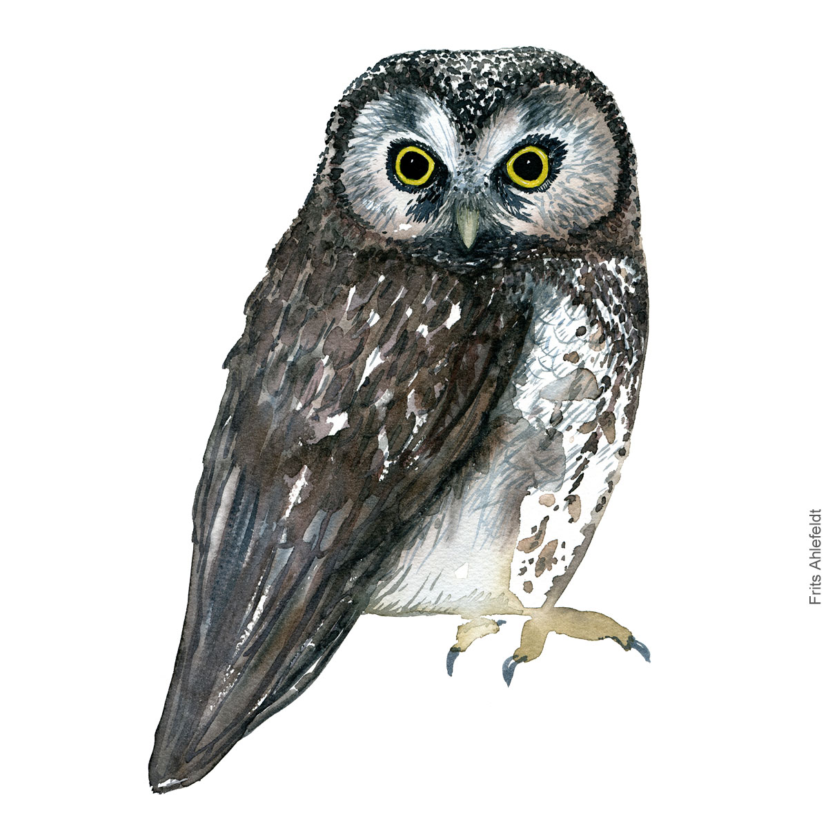 Perleugle - Boreal owl - Bird watercolor painting. Artwork by Frits Ahlefeldt. Fugle akvarel