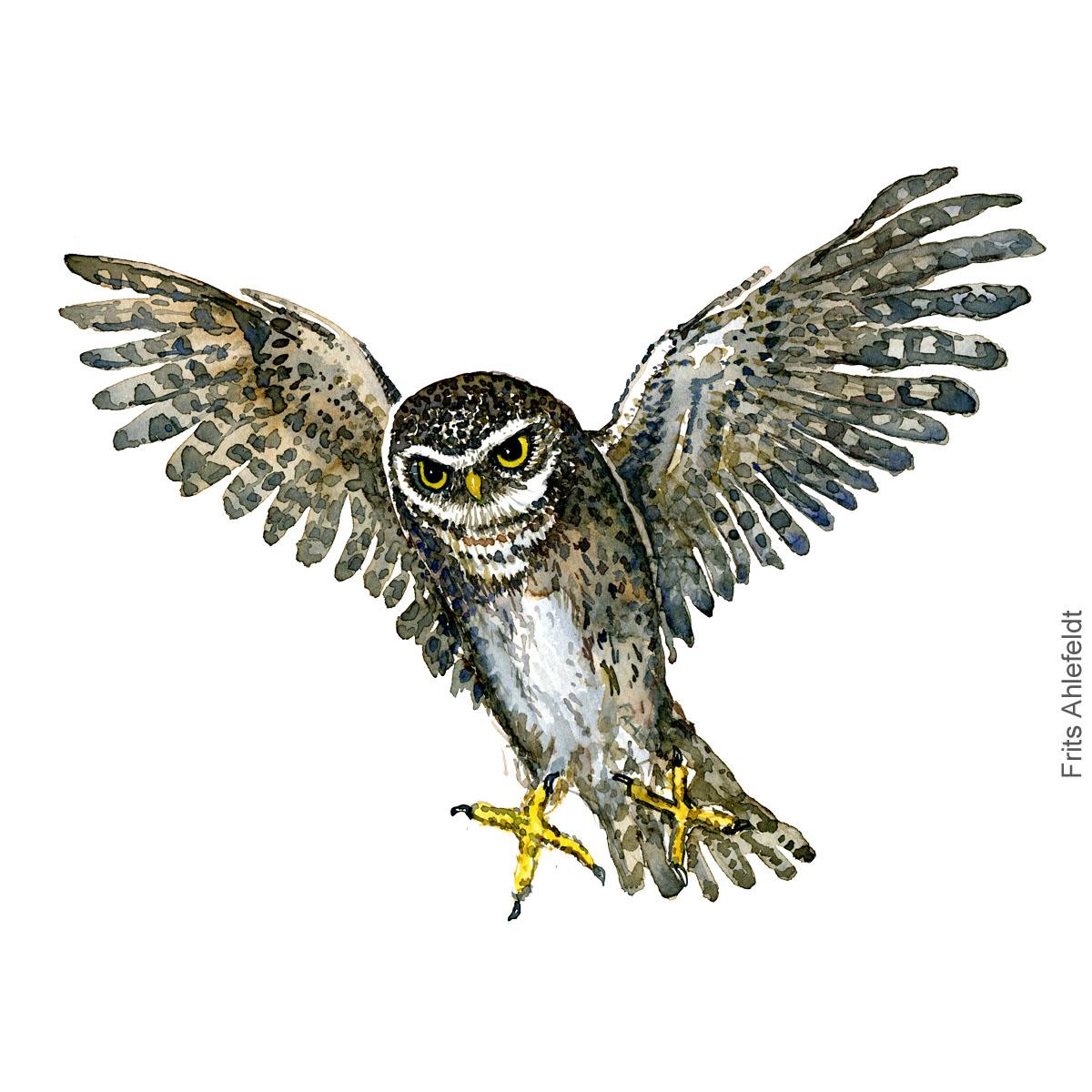 Kirkeugle - Little owl - Bird watercolor painting. Artwork by Frits Ahlefeldt. Fugle akvarel