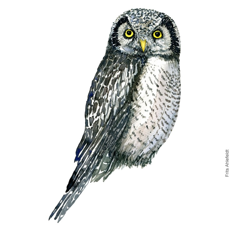 Hoegeugle - Northern hawk owl - Bird watercolor painting. Artwork by Frits Ahlefeldt. Fugle akvarel