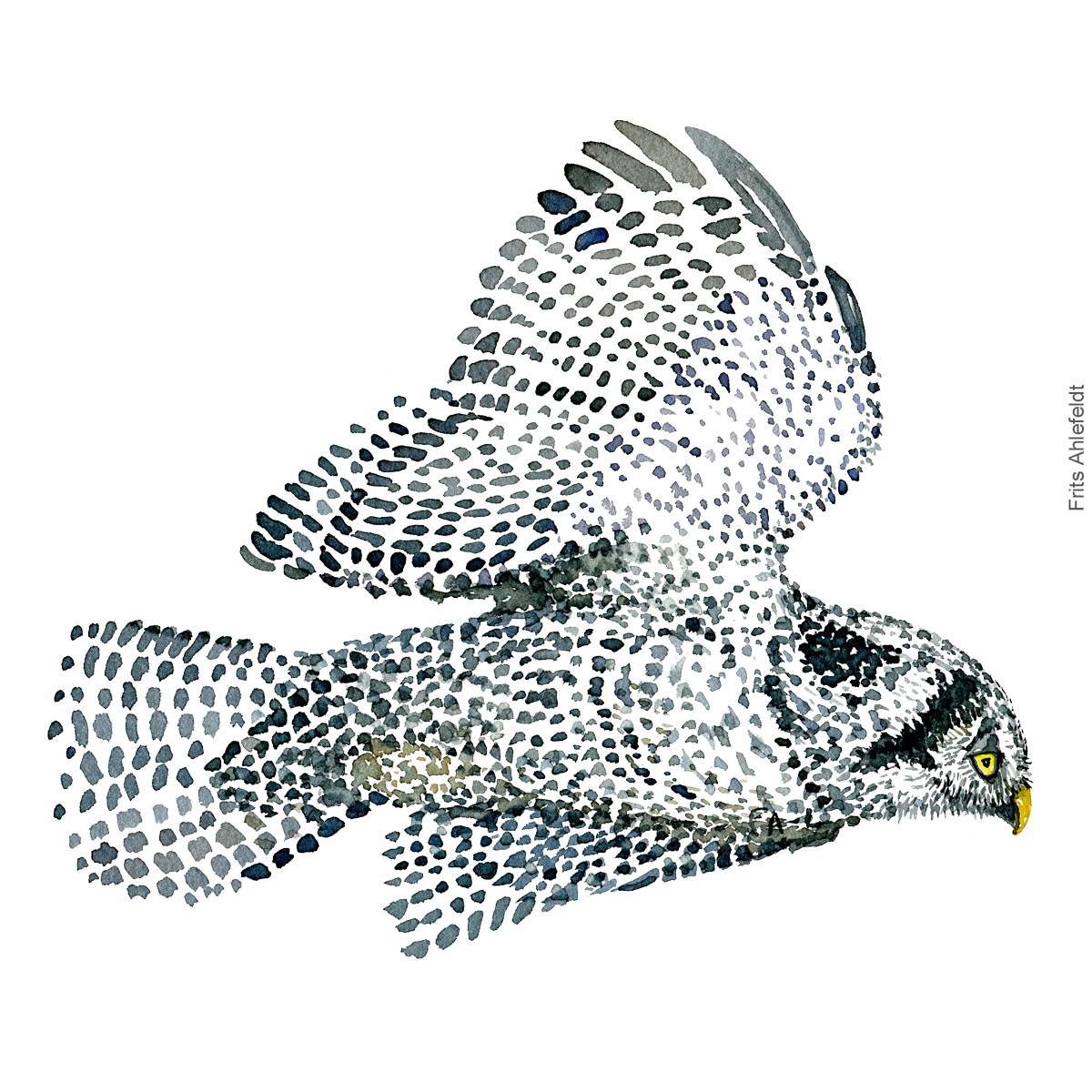 Dw00340 Northern hawk owl ( Surnia ulula, Høgeugle ) Bird painting in watercolor by Frits Ahlefeldt - Fugle akvarel