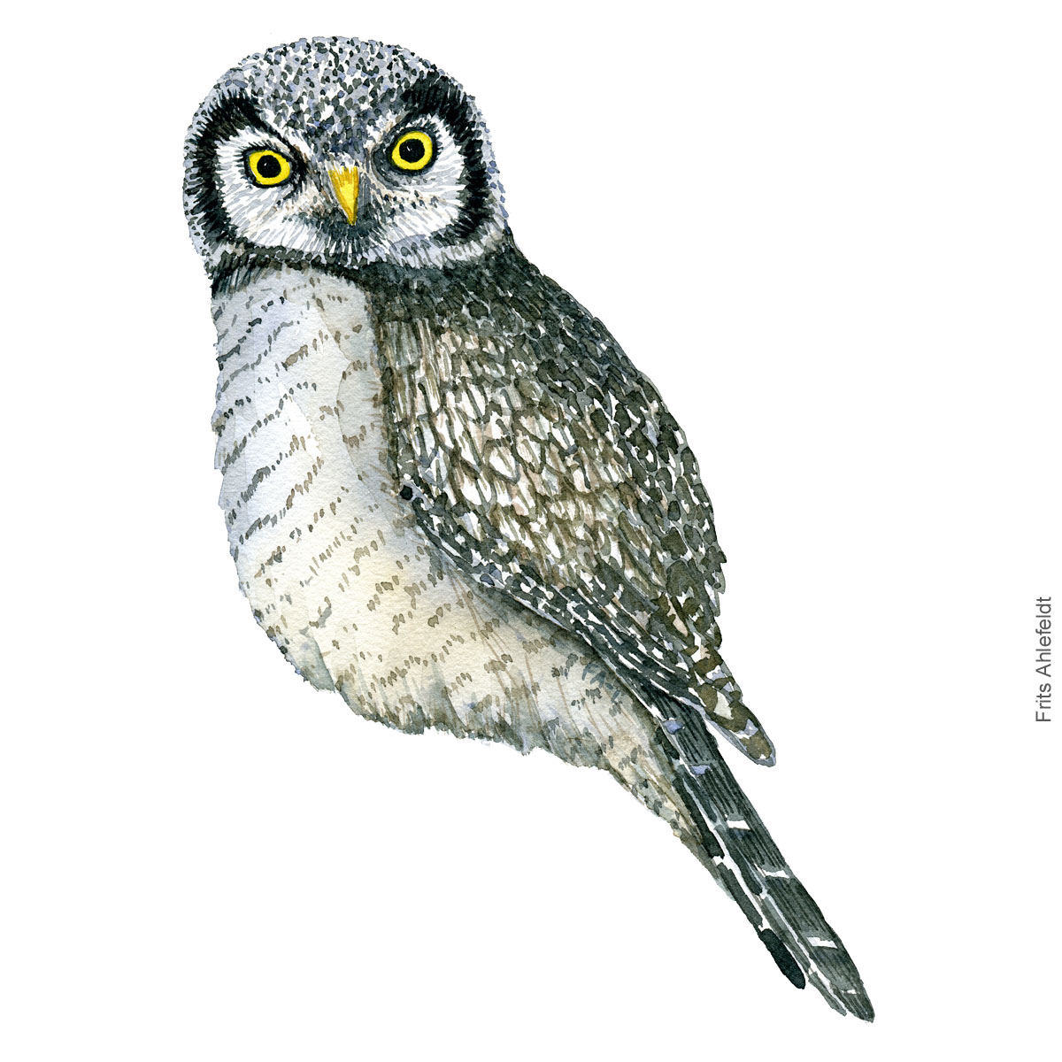Hoegeugle - Northen hawk owl - Bird watercolor painting. Artwork by Frits Ahlefeldt. Fugle akvarel