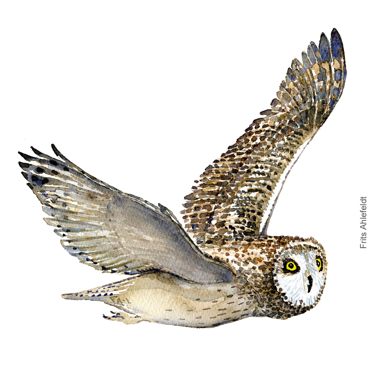 Mosehornsugle - Short-eared owl - Bird watercolor painting. Artwork by Frits Ahlefeldt. Fugle akvarel