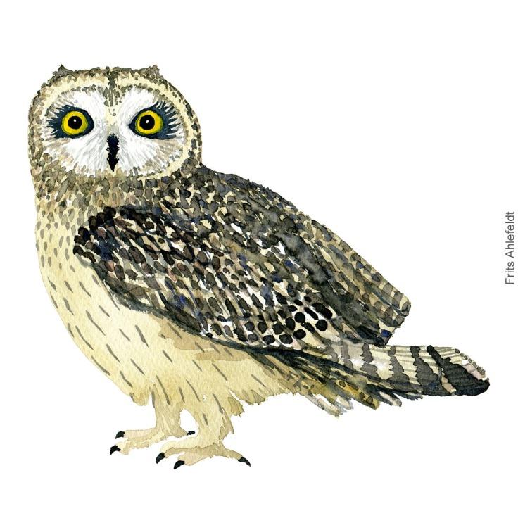Mosehornsugle - Short-eared owl - Bird watercolor painting. Artwork by Frits Ahlefeldt. Fugle akvarel