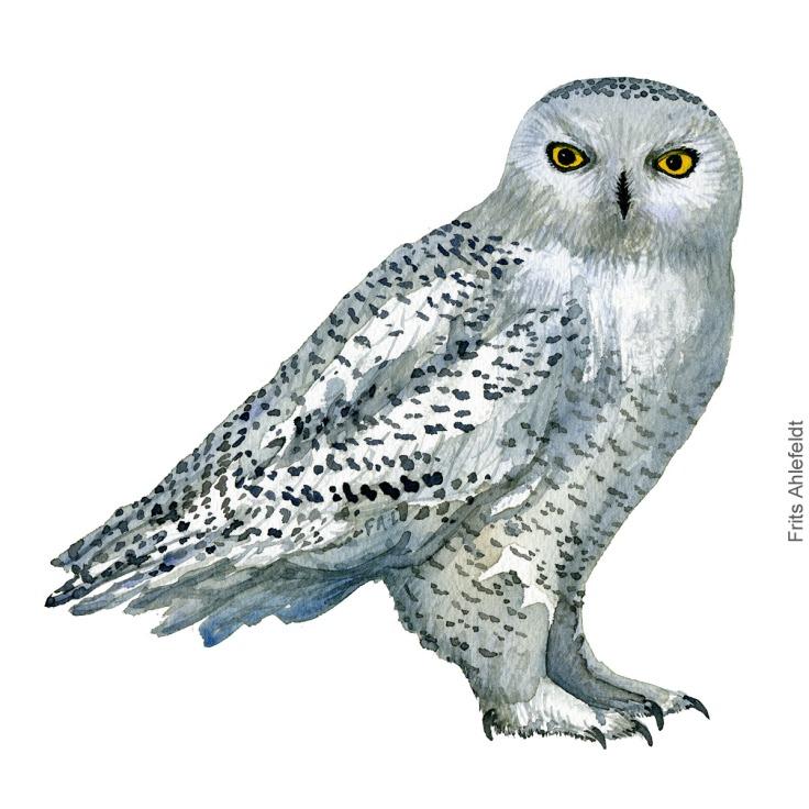 Sneugle - Snowy-owl - Bird watercolor painting. Artwork by Frits Ahlefeldt. Fugle akvarel