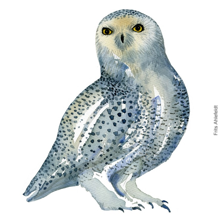 Sneugle - Snowy owl - Bird watercolor painting. Artwork by Frits Ahlefeldt. Fugle akvarel