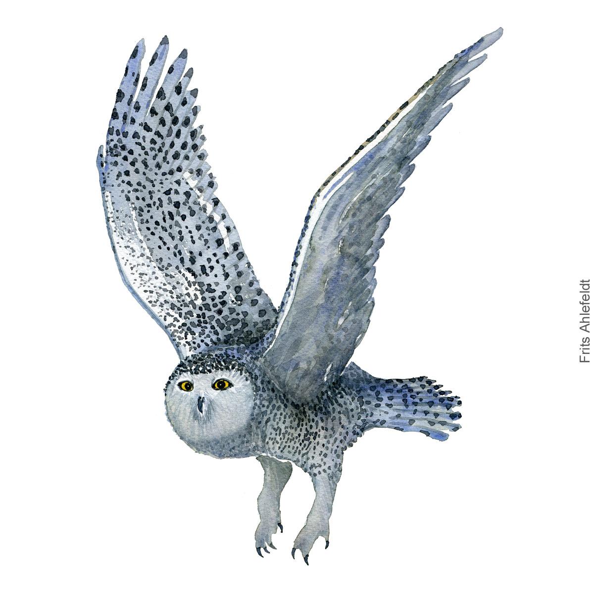 Sneugle - Snowy owl flying - Bird watercolor painting. Artwork by Frits Ahlefeldt. Fugle akvarel